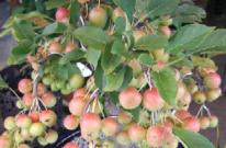 姫林檎 植栽 庭木 APOA 三重県津市
