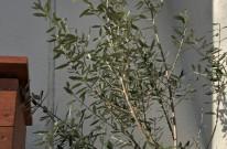 オリーブ OLIVE 植栽 グリーン APOA 三重県津市