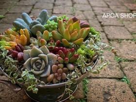 多肉植物 APOA SHOP 三重県津市