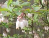 ブルーベリー 植栽 グリーン GREEN 庭木 果樹 APOA 三重県津市