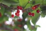 サクランボ 落葉樹 庭木 植栽 グリーン APOA 三重県津市
