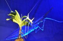 月夜のアングレカム ラン展2020 奇跡の星の植物館 兵庫県淡路夢舞台