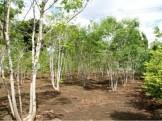 アオダモ 植栽 グリーン APOA 三重県桑名市