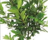 月桂樹 植栽 グリーン APOA 三重県津市