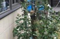 フェイジョア ポイントツリー 植栽 APOA 三重県津市